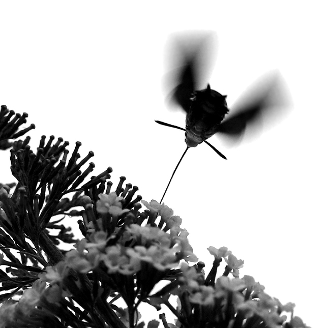 Čierny kvet