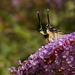 Slimák hanblivý-Helix verecundus