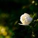 .....light & rose....