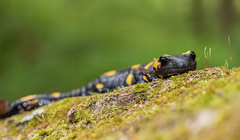 salamandra :)