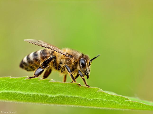 včela :)