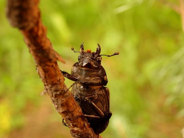 locanus cervus