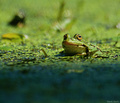 skokan zelený :)