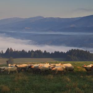 Na pašu ovečky, na pašu