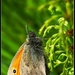Očkáň pohánkový (Coenonympha pam