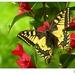 Vidlochvost feniklový - Papilio