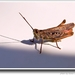 Koník lúčny-model na parapetnej