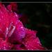 Gladiola (Gladiolus hybridus)
