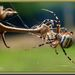 Križiak pásavý - Argiope Bruenni