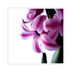 ... hyacinth ...