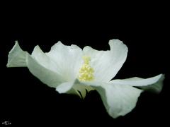 biely