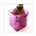 ... hyacinth onion ...