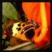 ... butterfly, ty motyl moj ...