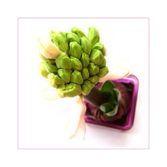 ... hyacinth II ...