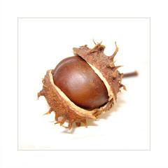 ... chestnut ...