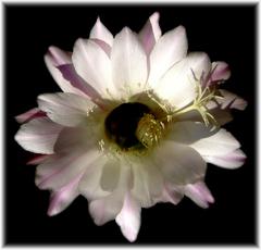 kaktusovy kvet