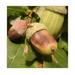 ... acorn ...