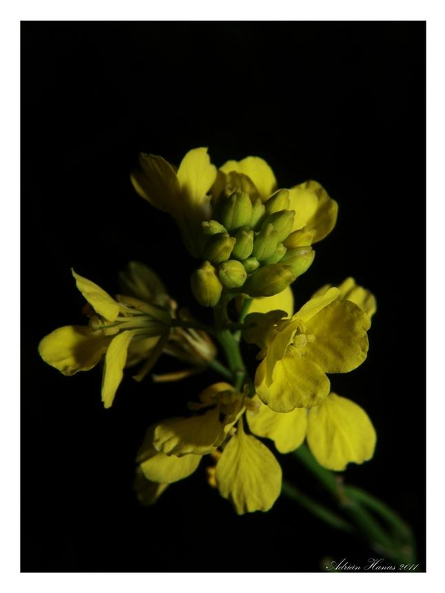Slnečna žltá