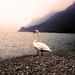 Labud vychutnava zapad slnka
