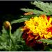 kvet po daždi