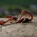 Škorpión Dolomitský
