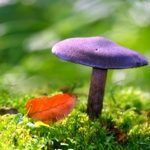 Pavučinovec fialový