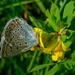 Modráčik obyčajný (Polyommatus i