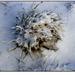 zimna trava