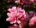 ružová krása...