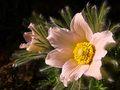 Ružová krása....