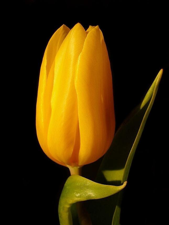 Yellow tulip...