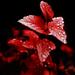 perly kvetu
