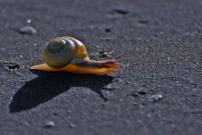 Slimák asfaltofil