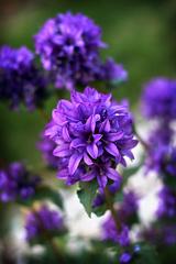 fialové leto...