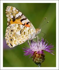 Motýľčok