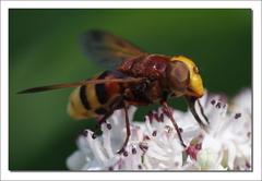 Žeby fčela?