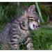 Tiger domáci bedzanský