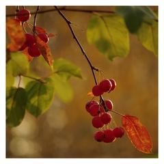 """Jesenné """"čerešne"""""""