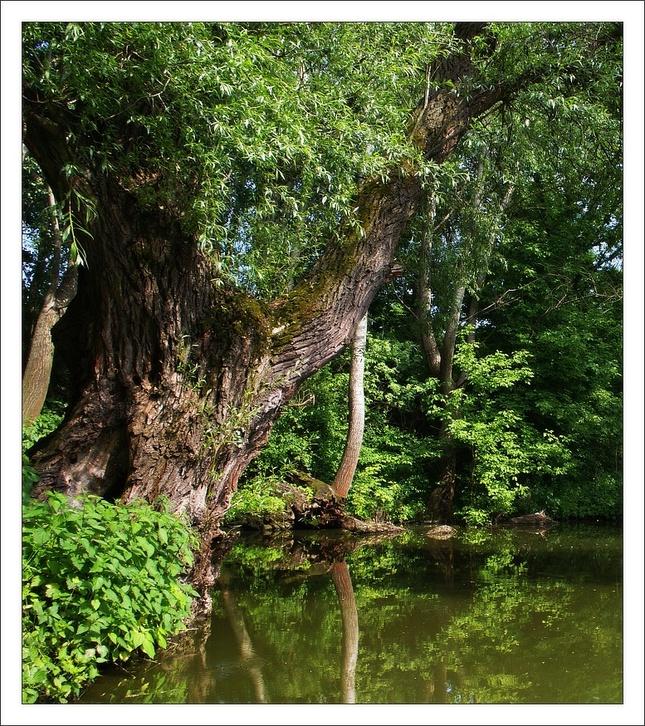 Starý strom