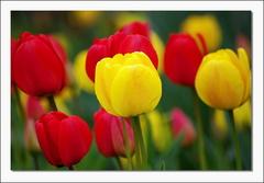 Tulipánofka