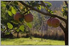 Čas jabĺk