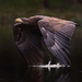Orliak morský (Haliaeetus albici