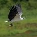 orliak bielobruchý