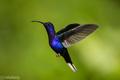 kolibrík