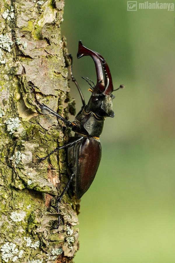 roháč veľký (Lucanus cervus)