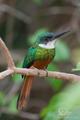 Jagavec zelený (Galbula galbula)