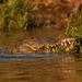 krokodíl americký