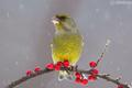 stehlík zelený (Carduelis chlori