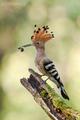 Dudok chochlatý (Upupa epops)