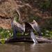 anhinga jarabá (Anhinga anhinga